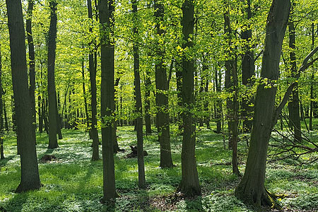 高耸的杉树林