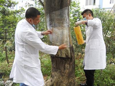 沉香树结香之人工菌种