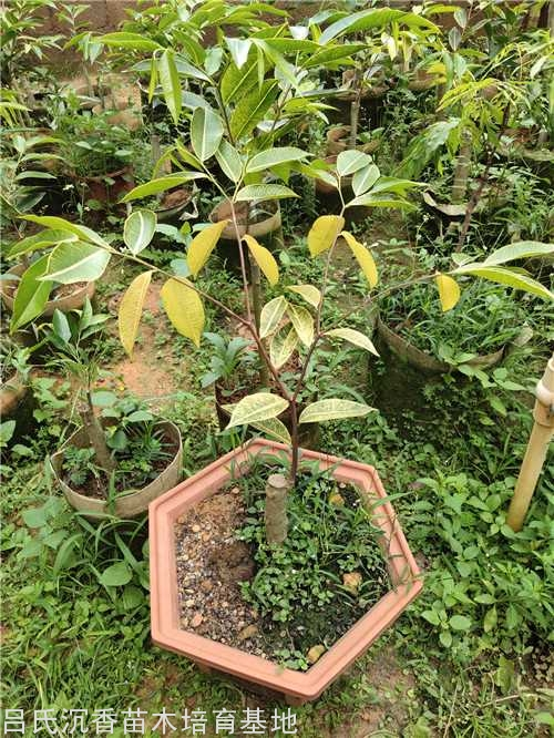 40厘米高度金色奇楠苗