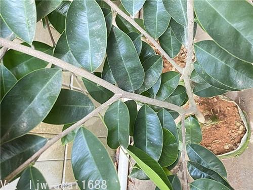 白奇楠沉香的葉子形狀