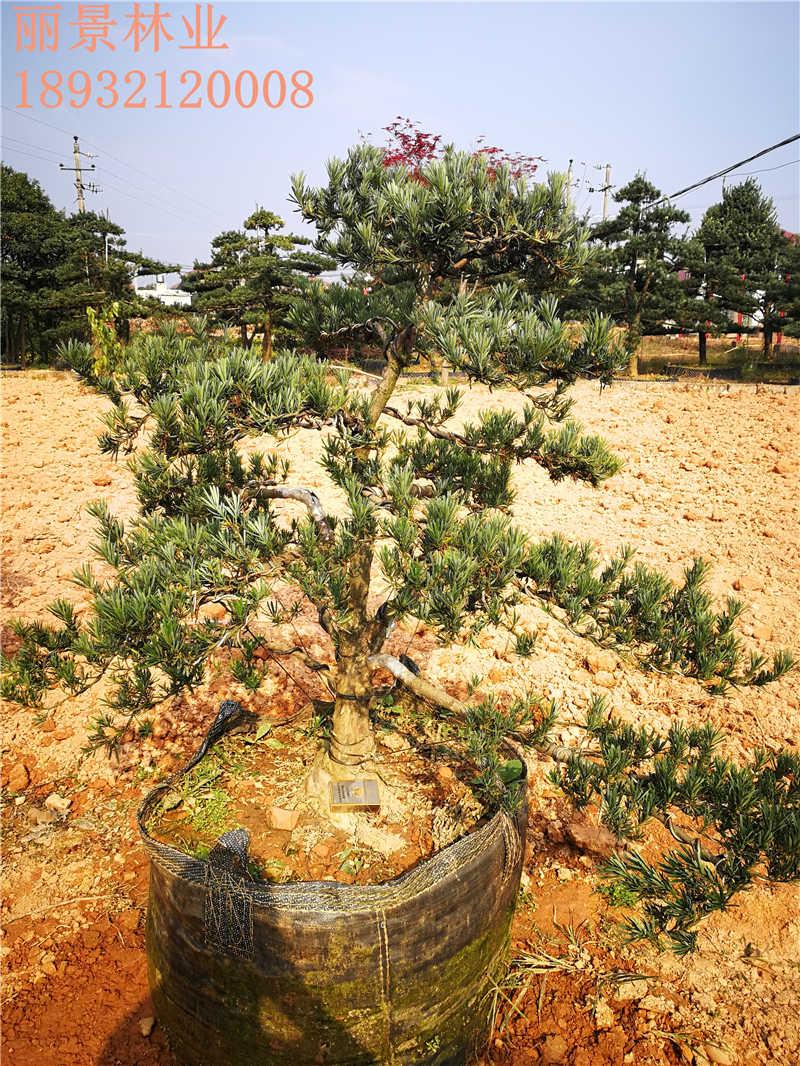 盆栽罗汉松