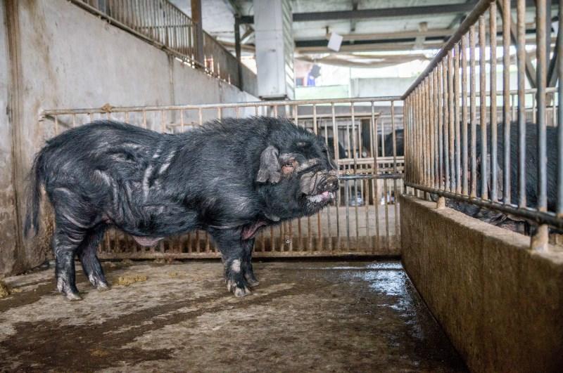 种猪盆州山地猪