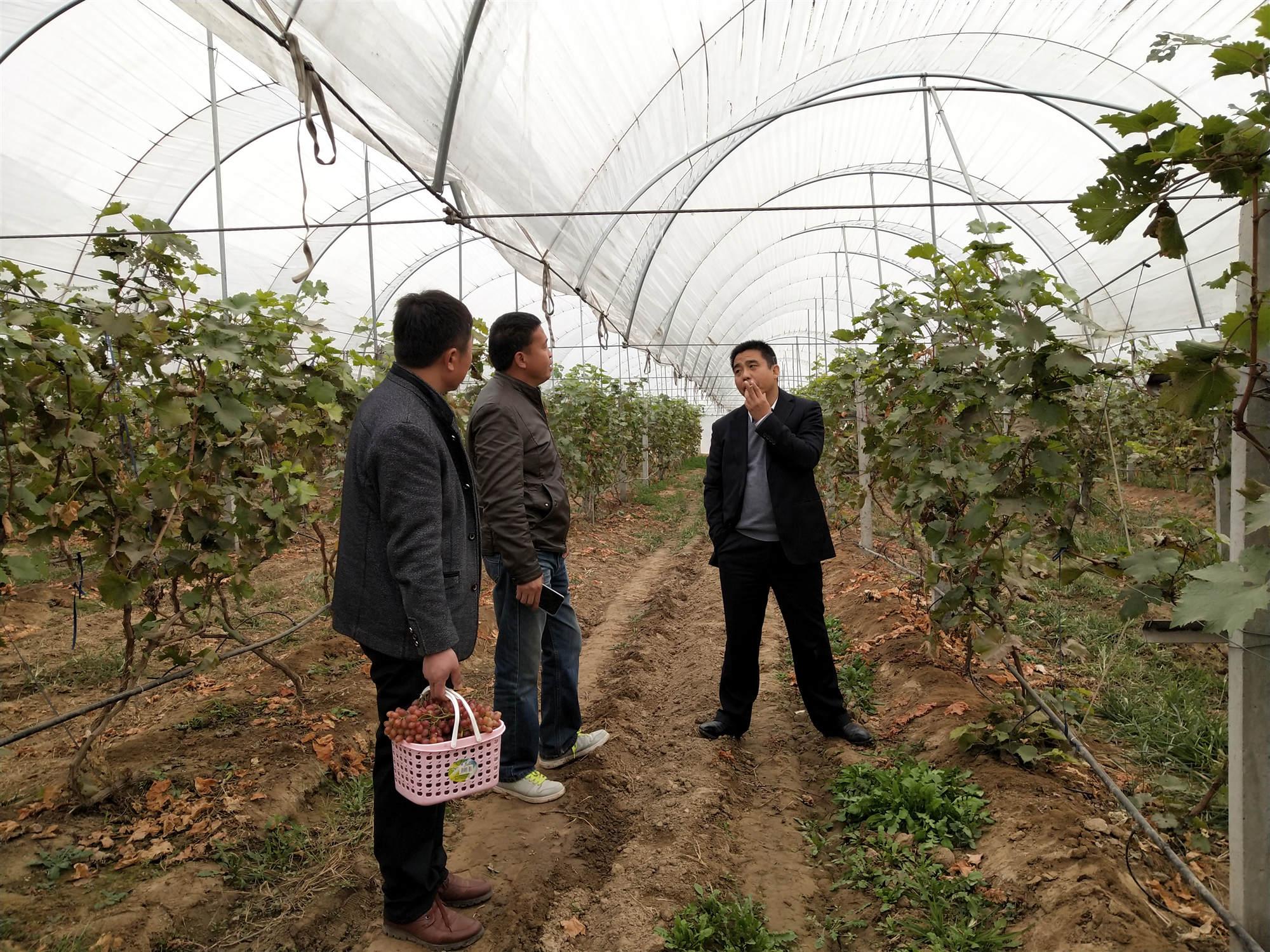 调研葡萄种植养护