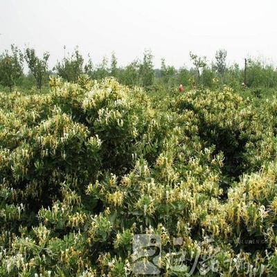 巨鹿金银花