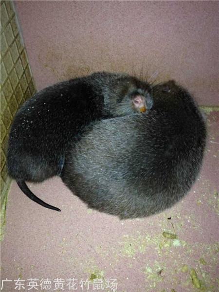 广东竹鼠种苗图片